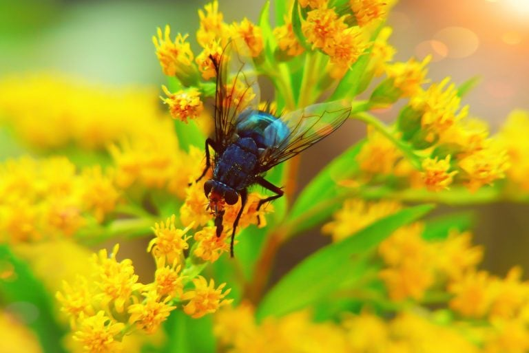 Fly pollinating flowers