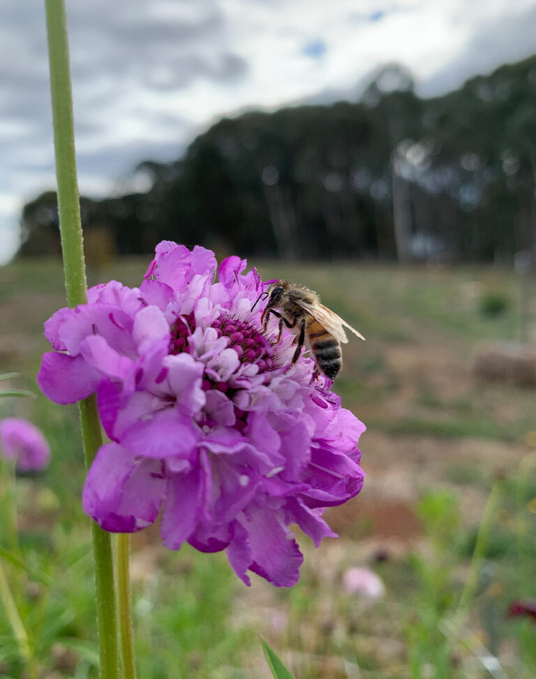 Honeybee on Pin Cushion