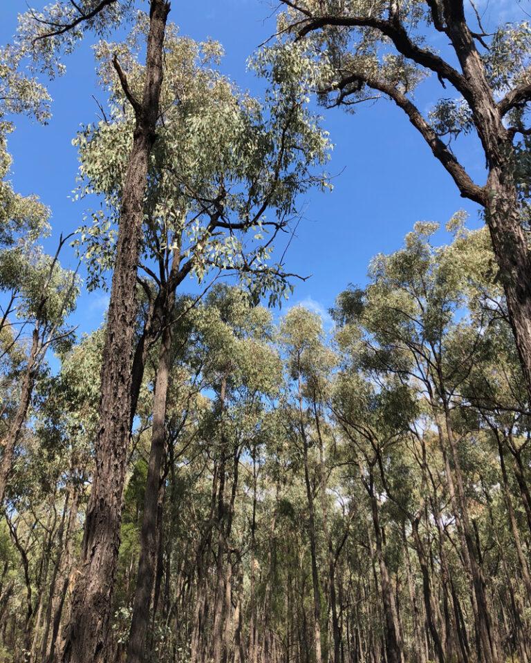 Pilliga Box Forest NSW